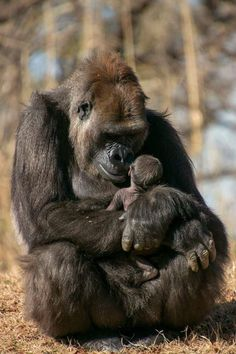 """All animals have feelings. I think as a group they're more """".- All animals have feelings. I think as a group they're more """"humane"""" than h… All animals have feelings. I think as a group they're more """"humane"""" than humans. Gorilla Gorilla, Amazing Animals, Animals Beautiful, Primates, Mammals, Nature Animals, Animals And Pets, Cute Baby Animals, Funny Animals"""