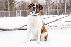 Belle - Saint Bernard (Rescued January 29th, 2017)