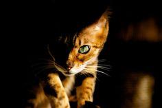 Lara Panther, Kawaii, Cats, Animals, Gatos, Animales, Animaux, Kitty, Cat