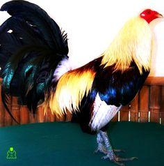 Fotos de gallos 1   Gallos FinosGallos Finos