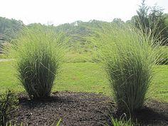 22 Best Ornamental Grasses Images Flowers Plants