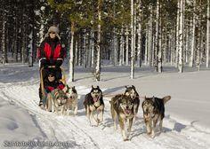 Santatelevision travel photo: Huskies in Lapland in Finland – husky dog safari in Finnish Lapland – husky dog sledding in Lapland – husky dogs in Lapland Safari, Lapland Finland, Father Christmas, Photo And Video, Animals, Husky Dog, Random, Travel, Diy Dog