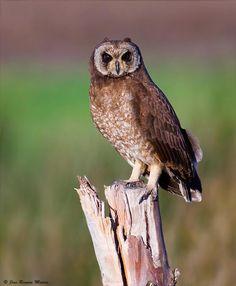 Marsh Owl (Asio capensis) A bird standing on the trunk of a dead tree South African Birds, Bird Stand, World Birds, Owl Photos, Beautiful Owl, Cute Owl, Albino, Bird Species, Bird Watching