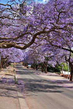 Jacaranda trees, Pretoria, South Africa.