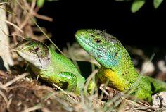 Lézard vert couple