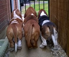 Basset Hounds on duty! Basset Hounds on duty! Basset Puppies, Hound Puppies, Basset Hound Puppy, Dogs And Puppies, Doggies, Beagles, Chien Basset, I Love Dogs, Cute Dogs