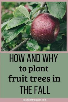And Plant A Homestead Orchard Fall is an excellent time to plant fruit trees. Learn why and how to plant an orchard.Fall is an excellent time to plant fruit trees. Learn why and how to plant an orchard. Fruit Plants, Fruit Garden, Edible Garden, Flowers Garden, Garden Plants, Flower Gardening, Outdoor Plants, Fruit Trees In Containers, Easy Garden