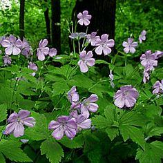 "Geranium maculatum  ---  Native to moist eastern woodlands, it makes a great groundcover under trees. Blooms for 6-8 weeks, mid spring to early summer, in lavender to pink shades. Deeply cut grey- green foliage is attractive all summer. Heat tolerant & unfussy. 18-24"" tall & wide, z. 3-8."