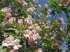 Google Image Result for http://www.about-garden.com/images_data/3422-x-chitalpa-tashkentensis-pink-dawn-1.jpg