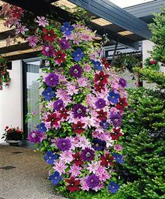 "Never thought to mix Clematis close together like that.-""Clematis are lovely bright colored climbing flowers that will light up any garden. They are ""friendly"" plants that grow well with others and grow upwards of feet. Climbing Clematis, Clematis Plants, Clematis Vine, Flowers Perennials, Planting Flowers, Clematis Flower, Flower Gardening, Climbing Vines, Climbing Flowers Trellis"