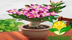 Como plantar e replantar rosa do deserto / Adenium Obesum. How to plant ...