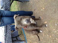 This big baby is Bambino. A blue nose Pitbull as well.