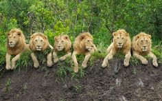 They may be fearsome predators, but these six lions look positively cuddly