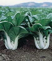 Pak Choi, Joi Choi Chinese Cabbage Seeds and Plants, Vegetable Gardening at Burpee.com... I joined a CSA this year and was inspired to try growing some of the veggies which I enjoyed from the CSA... this is one of them....