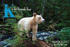Beautiful BC from A to Z: K is for Kermode Bear - Have Blog Will Travel