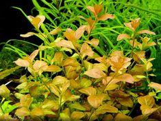The Aquatic Plant Society – Ludwigia Ovalis