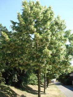 Image Hosted by ImageShack.us - tilleuls - lime-tree