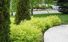 Spirea Goldmound Bush. Great for landscaping. Lime green folage. Easy to grow and care for. Tolerates wide range of conditions. I have alot of them.