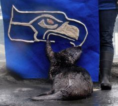 Seattle sea otter prepares for today's Super Bowl by devouring his team's logo - February 2, 2014