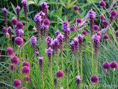 Allium sphaerocephalon with Liatris spicata July 2011