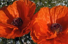 Four In A Dozen For Diana: Poppies