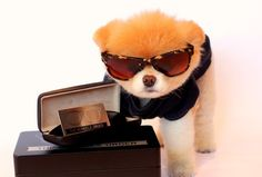 Boo the Dog Models Eyewear for Monocle Order : Lucky Magazine