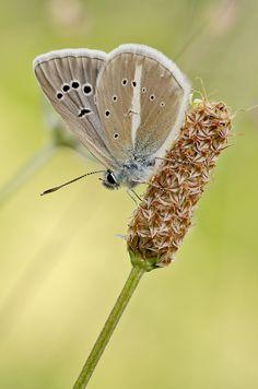 Streifenbläuling (Polyommatus damon) Damon, Butterflies, Dandelion, Flowers, Plants, Insects, Dandelions, Butterfly, Plant