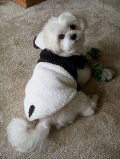 cutest maltese wearing a panda outfit