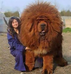 The Most Expensive Dog in the World - The Red Tibetan Mastiff is the most expens. Giant Dog Breeds, Giant Dogs, Large Dog Breeds, Pet Breeds, Mastiff Puppies, Dogs And Puppies, Red Tibetan Mastiff, Dogue Du Tibet, Worlds Largest Dog