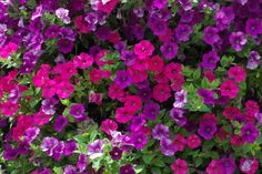 Image result for pink and purple petunias