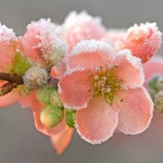 chaenomeles x superba with frost