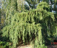 Giant Ornamental Specimen Trees For In Rockland Westchester Orange County Ny And