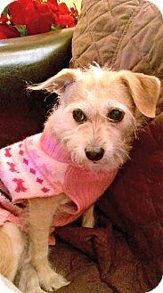 Redondo Beach, CA - Cairn Terrier/Border Terrier Mix. Meet Sadie is quiet, a dog for adoption. http://www.adoptapet.com/pet/14518257-redondo-beach-california-cairn-terrier-mix