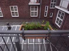 Moroccan Tea Mint on a small balcony in Hamburg, Eimsbuettel