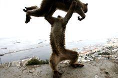 Dos monos de Gibraltar (Macaca sylvanus) juegan en el Pen.