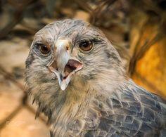 Gavião - As aves de rapina ou rapinantes são aves carnívoras que compartilham características semelhantes como bicos recurvados e pontiagudos garras fortes e visão de longo alcance.