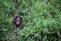 Un cucciolo di scimpanzè nello zoo di Kuala Lumpur, in Malesia