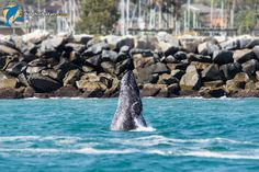 Gray Whale breach RIGHT outside of the Dana Point Harbor!   Photo by Naturalist Craig DeWitt | www.dolphinsafari.com  #graywhale #whalewatching #breach #whales #outdoors #california #danapoint #travel #ocean