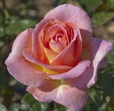 Hybrid Tea Rose: Rosa 'Elle' (France, before 1999)