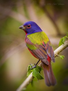 Painted-Bunting (Passerina ciris). A species of bird in the Cardinal family native to North America. The male is often described as the most beautiful bird in North America.