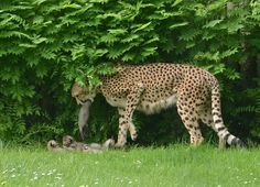 This is the second litter for Namoja and her mate, Jabari. Their first group of offspring was a litter of five male cubs, and all of the boys are now at home in other zoos, throughout Europe, as part of the European Endangered Species Programme (EEP).  Since the 1970s, Alwetterzoo has welcomed forty Cheetah births.