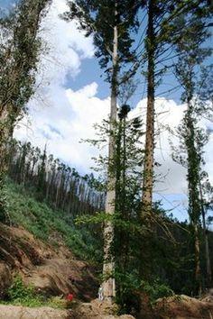 Eucalipto Local: Mata Nacional de Vale de Canas  Freg.: Torres do Mondego - Conc.: Coimbra - Distrito: Coimbra