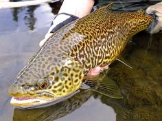 Tiger Trout #tigertrout #trout #flyfishing These fish are so pretty!