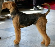 Airedale Terrirs