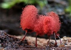 Arcyria called Cotton Candy Slime Mold - a Myxomycetes. Mushroom Art, Mushroom Fungi, Cotton Candy Slime, Organic Structure, Slime Mould, Natural World, Amazing Nature, Mother Nature, Beautiful Flowers