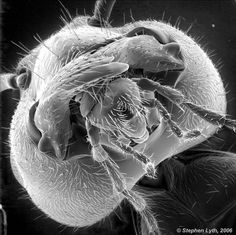 The face of an ant:  a face that only a mother could love.  Well, not really.