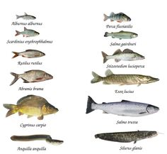 Photo about Fish of rivers and lakes on white background. Image of pike, salmo, bass - 16527190 Fishing Uk, Deep Sea Fishing, Fishing Knots, Vietnam Fish, Animals Name In English, Salmon Species, Fish Chart, Oscar Fish, Fishing