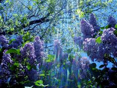 Lilacs in Michigan