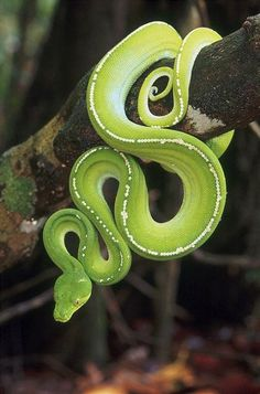 "Green Python ~ Australia ~ Miks' Pics ""Animals l"" board @ http://www.pinterest.com/msmgish/animals-l/"