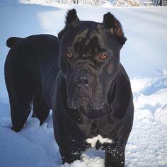 """Polubienia: 408, komentarze: 2 – canecorso (@canecorso_of_insta) na Instagramie: """"Day 2 of snow fun❄❄❄ Follow @canecorso_of_insta for more via @bellathecanecorso Love to tag?…"""""""